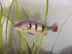 Skip mackey fishing favorites for Baby bass fish