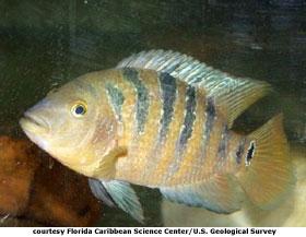 mayan cichlid order perciformes family cichlidae genus cichlasoma ...