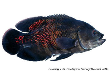 Favorites as well Cichlasoma in addition Everglades Are Calling besides Fl Shameless Lifelisting Part 6 furthermore Bear Island Big Cypress National. on mayan cichlid fish everglades